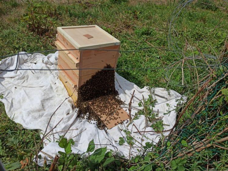 Essaim cueilli rentrant dans sa nouvelle ruche Warré